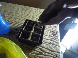 Germinating medicinal plants in Artium