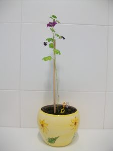 Adopted mallow plant